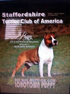Campione Lobotown Puppy - American Staffordshire